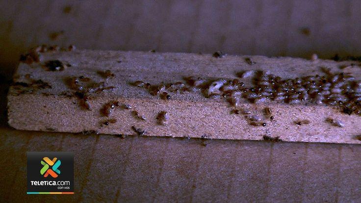 El barniz es insuficiente para proteger la madera de las termitas