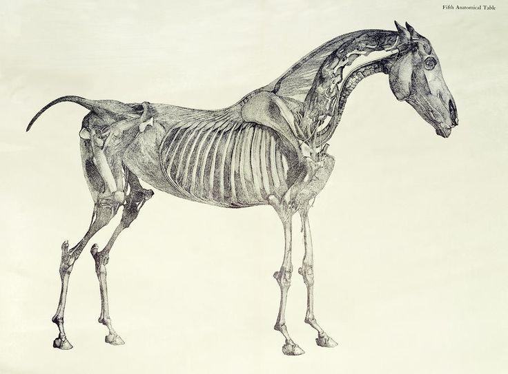 114 Best Drawing Horses 101 Anatomy Images On Pinterest Horses