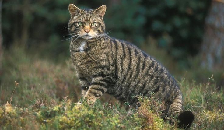 La importancia de las vacunas en el gato - http://www.notigatos.es/la-importancia-de-las-vacunas-en-el-gato/