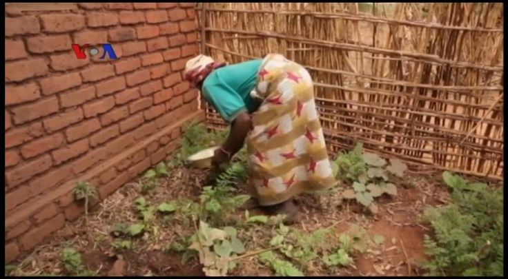 Para petani jagung di Malawi, Afrika Tenggara, beralih ke budidaya sayuran setelah gagal panen akibat kekeringan parah dan juga banjir yang melanda tahun lalu. Kebun-kebun sayur kecil skini bermunculan di sekitar ibukota Malawi berkat adanya prakarsa baru yang disebut Kebun Kemenangan.   Simak di YouTube:  youtube.com/watch?v=xBVZAy_e2jg