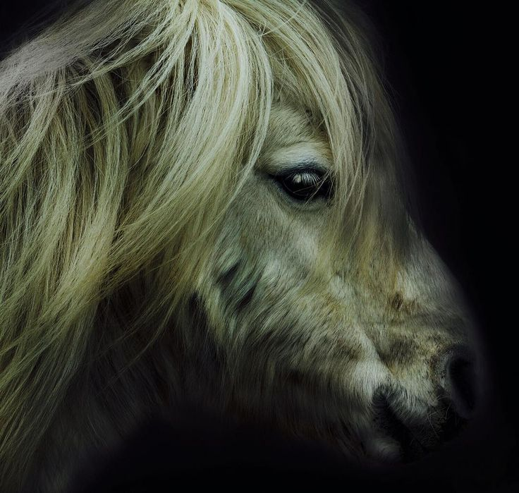"""""""@robertclarkphoto  On assignment for @natgeo in Scotland. I'm in the Shetland Isles, I have seen a lot of the ponies. I wanted to know more. The Shetland…"""""""