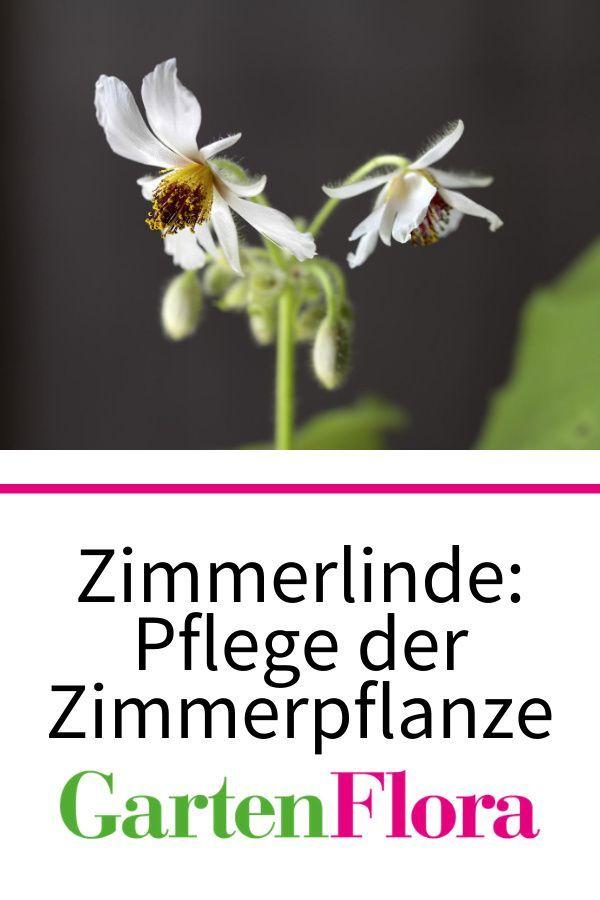 Zimmerlinde Zimmerbaum Mit Weichen Blattern In 2020 Zimmerlinde Zimmerpflanzen Pflanzen
