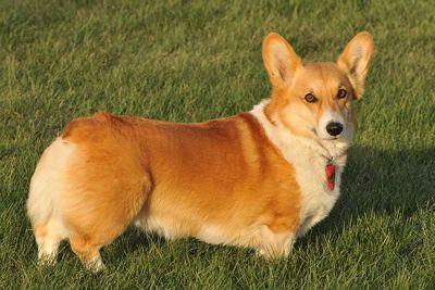 Corgi Puppies For Sale, Pembroke Welsh Corgi Dog Breeders