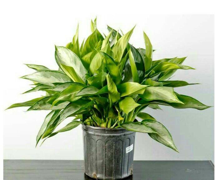 12 best plantes d 39 ombre images on pinterest plantes d. Black Bedroom Furniture Sets. Home Design Ideas
