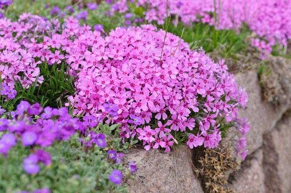 Considered as one of the most colorful of all ground covers, Phlox Subulata is also vigorous, hardy, trouble-free, deer resistant and requires low care. Highly desirable, this little evergreen perennial adds splashes of colors in spring when its masses of bright, fragrant flowers open up for 3-4 weeks in shades of blue-purple, pink, red or white. Irresistible!