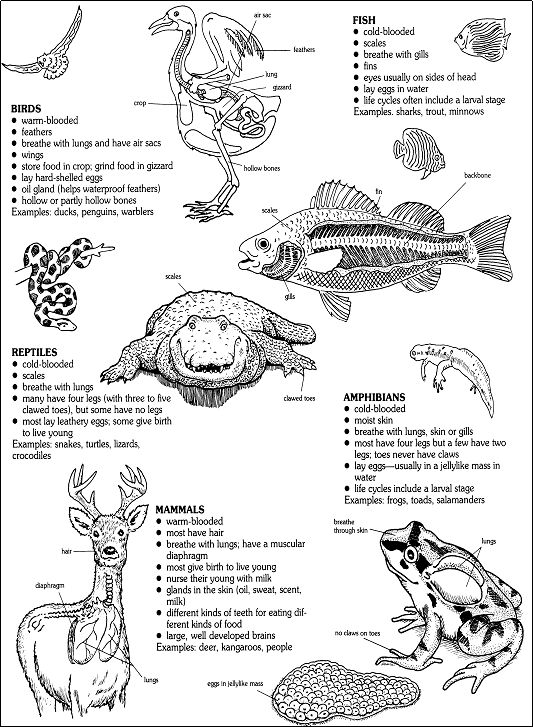 Vertebrate Animals Coloring Pages : Diagram of vertebrate taxa and their characteristics