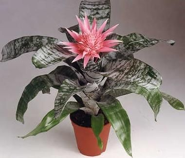 Aechmea fasciata blomsterananas indoor plants pinterest for Aechmea fasciata