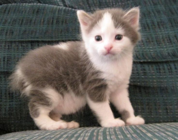Manx Kitten. I swear I do not love cats, I just need one of these.