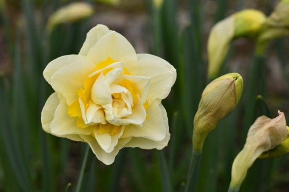 Narcis plnokvětý Unique