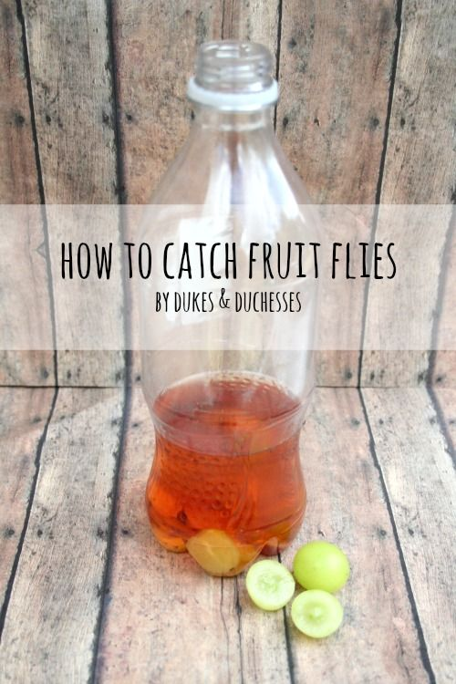 How to Catch Fruit Flies - Dukes and Duchesses