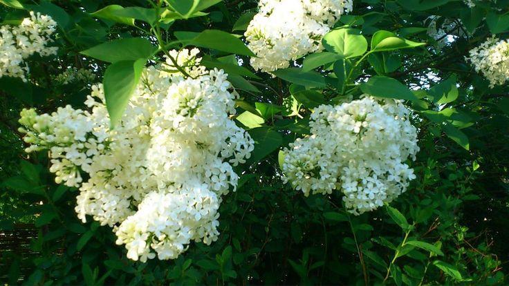 Blommande syren doftar gudomligt