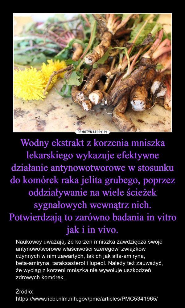 Korzen Mniszka W Profilaktyce I Leczeniu Raka Okreznicy Herbalism Herbs Nature