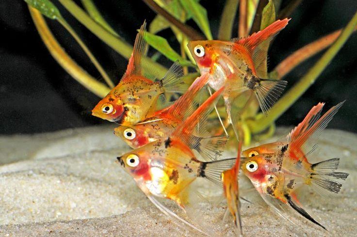 koi angelfish | Koi Angelfish+++