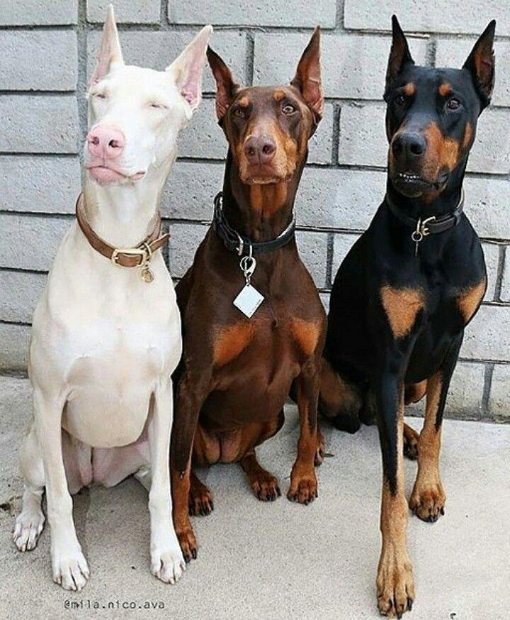 Doberman Trio Doberman Pinscher Dog Dog Breeds Doberman Puppy