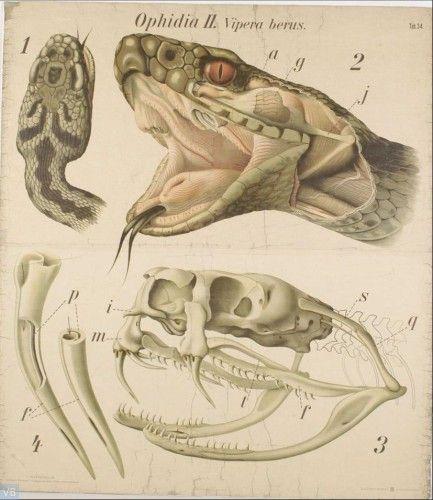 De gewone adder (Vipera berus). - Reptilia, Ophidia II.