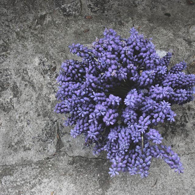 mrs.g.a.l.a#muscari #live_folk #live_nature#nature #natural #przyroda #minimal #minimalism #minimallife #monochromatic #monochrome#flowerstagram #flower #flowers #flowerlover #simpledecor #simplebeauty #fiolet #kwiaty #nature #naturallover #lifestyle #naturalphotography #naturals #life #spring #kwiecień #beutiful #wiosna#almostperfect_vintage