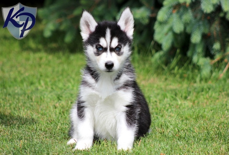 Daphne – Siberian Husky Puppies for Sale in PA | Keystone Puppies
