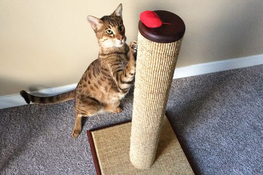 Choose a scratching post for cats, not humans. Learn what a cat wants in a scratching post in this veterinarian written article.