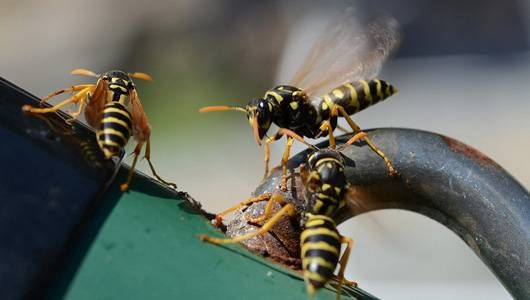 There is no need to use harsh and poisonous sprays to get rid of wasps