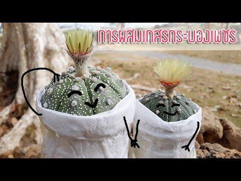 วิธีผสมเกสรกระบองเพชร Astrophytum Asterias
