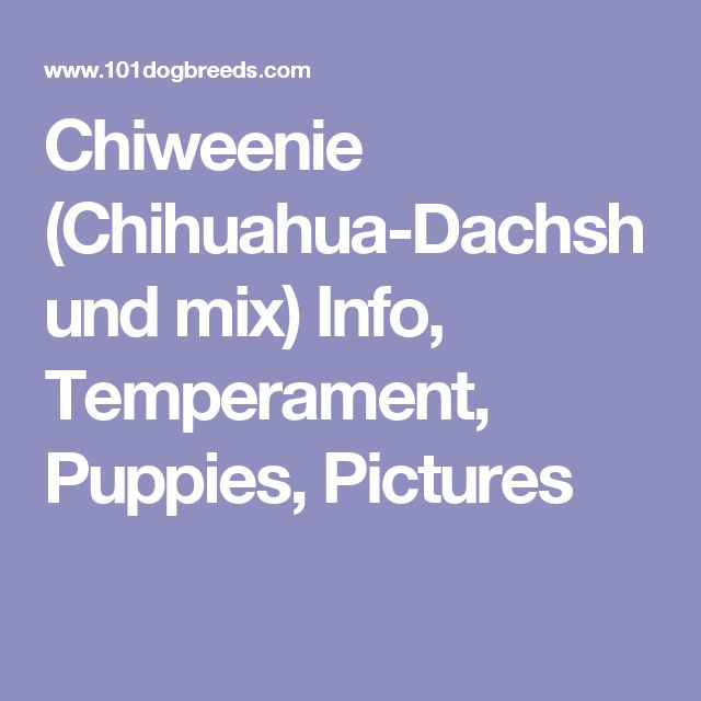 Chiweenie (Chihuahua-Dachshund mix) Info, Temperament, Puppies, Pictures