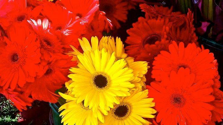Estas flores rojas y amarillas se venden en el Mercado. Las flores en la foto son las margaritas aunque muchos tipos diferentes de flores están en el mercado.