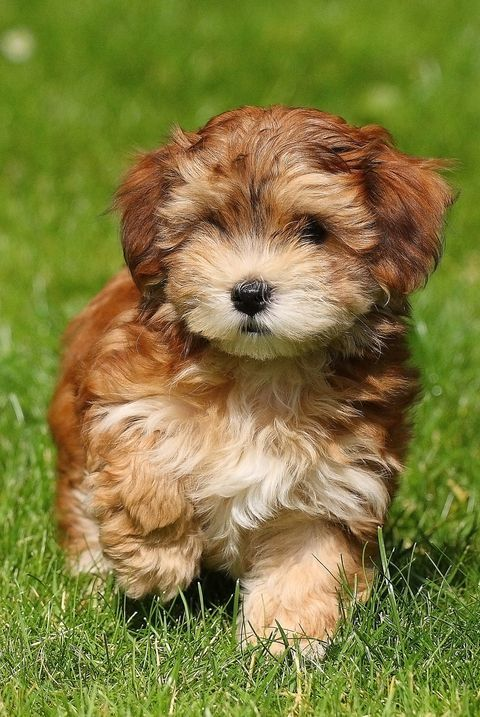 15 Dogs That Don T Shed Hypoallergenic Dog Breeds Hypoallergenic Dog Breed Cute Dogs Breeds Super Cute Dogs
