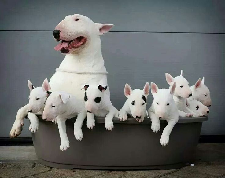 Bull Terrier Family. LOOK, at ALL the babies!!