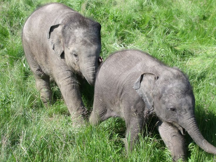 Watch Hannah, Gigi and Anna May play at Elephant Look-Out daily throughout the afternoon! (weather and nap-time permitting)  #AfricanLionSafari #Elephants