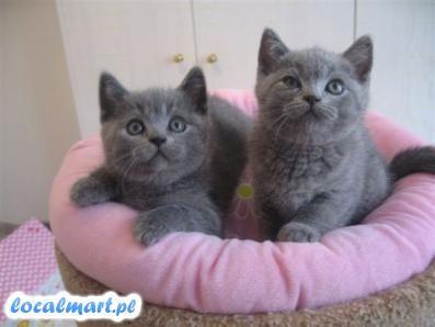 Śliczne kocięta brytyjskie krótkie włosy do przyjęcia