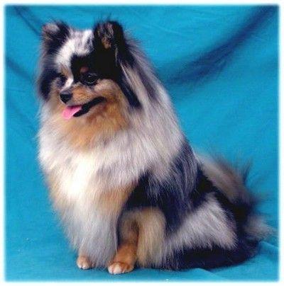 gorgeous blue merle Pomeranian Puppy Dog PomPom #Pom