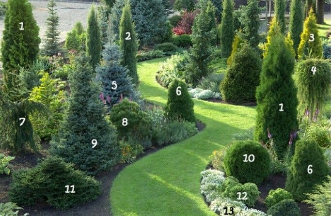 1. Thuja occidentalis 'Holmstrup'     8. Pine mountain 'Winter Gold' 2. Juniperus communis 'Hibernica'      9. Serbian spruce 'Nana'  3. Thuja occidentalis 'Aurea'     10. Thuja occidentalis 'Salaspils'  4. The European larch 'Pendula'      11. Spruce 'Pumila Glauca' 5. Blue spruce 'Glauca'     12. Canadian Hemlock 'Jeddeloh' 6. Thuja occidentalis 'Dumosa'     13. Lobularia seaside (alyssum sea) 7. Spruce 'Frohburg'