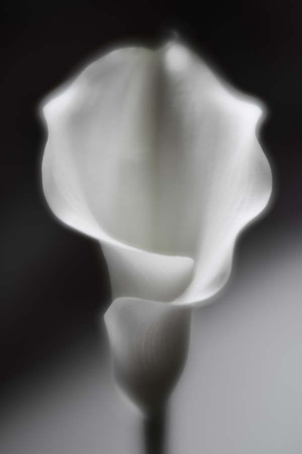 Black and white cala lily flower by AuroraMinna on Etsy