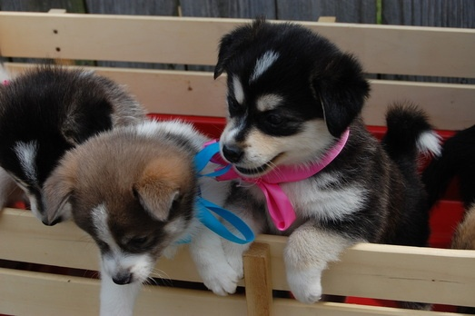 Pomsky puppies! I will have them.