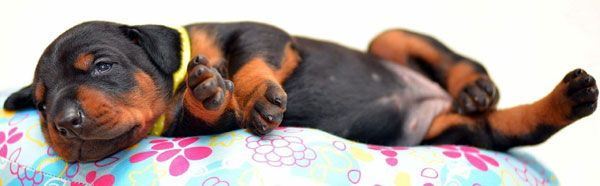 european doberman puppies for sale in USA