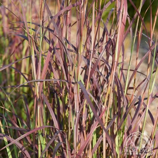 Schizachyrium scoparium 'Cinnamon Girl'                                                                                                                          A recent selection of a native grass, which used to be widely distributed all over the Great Plains. This forms sturdy, tight, upright stems in blue-green, purple closer to the base. Silver flower spikes in late summer. Superb, deep burgundy-red colour late summer into the fall. Terrific in the border or meadow. Tolerates heat and…