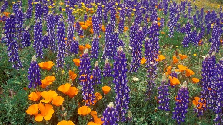 Lupine and Poppies, Tehachapi Mountains, California