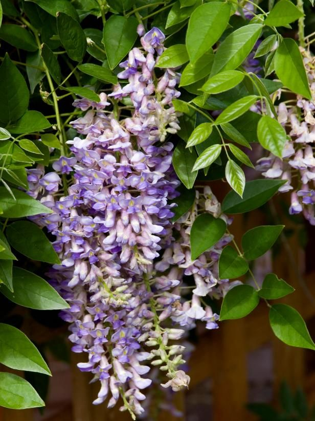 Summer Cascade Wisteria Flower Cluster Summer Cascade Wisteria Blossoms Form On New Stem Growth Eac Spring Hill Nursery Purple Flowering Plants Flowering Vines