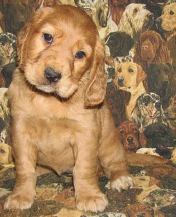 golden cocker retriever puppy.....its sooo cute i def want one! :)