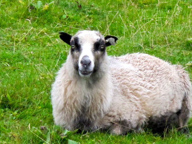 Sheep in Austevoll, Norway  http://www.meganstarr.com