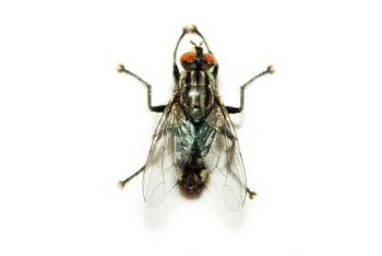 #fly #isolated #white