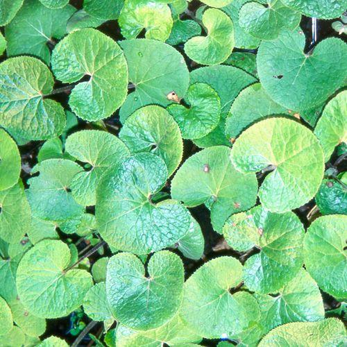 PETASITES fragrans (Héliotrope d'hiver) : Rhizomateuses, vigoureuses, robustes et colonisatrices. Couvre-sol caduc, mais efficace, des lieux frais à humides. Fleurs rosées apparaissant sur sol nu, avant les feuilles, rondes et vertes. Parfum vanillé. Bord de ruisseau, de pièce d'eau.