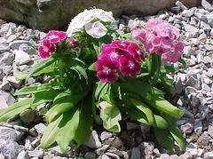 Dianthus barbatus, Annual, Full sun to part shade, 1-2 ft., Blooms May to frost