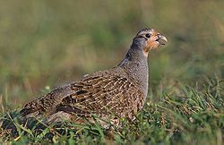 Grey Partridge - Montana, North Dakota