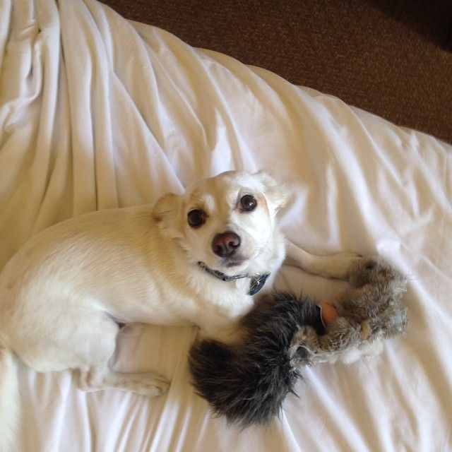 William at Hyatt Regency Indian Wells Resort & Spa! #PetsofHyatt