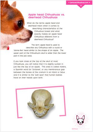 Apple head Chihuahuas Vs Deerhead Chihuahuas. What's the difference? Find out!