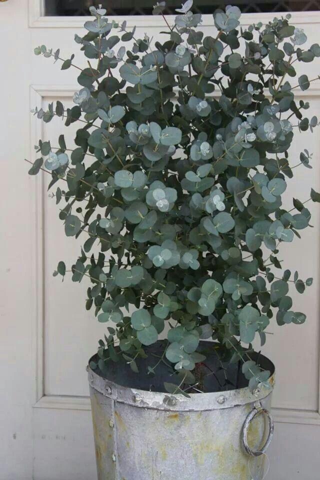 Les 25 meilleures id es de la cat gorie eucalyptus plante - Branche d eucalyptus ...
