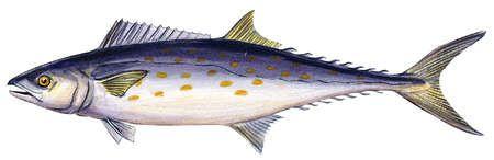 Spanish mackerel (Scomberomorus maculatus)