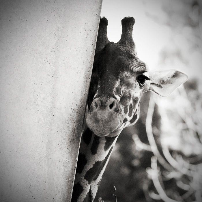 43 best Giraffidae images on Pinterest Giraffes, Giraffe and Birds - griffe für küche