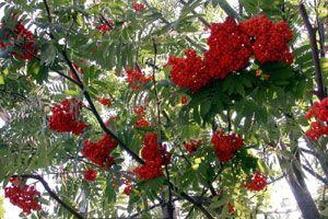 Terebess: ehető vadnövények - Madárberkenye